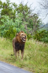 IMG_9777-African-Lion