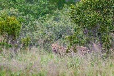 IMG_9904-Leopard