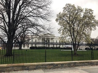 The White House tree bloom