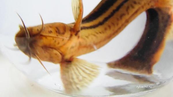 Рыба вьюн фото, фото описание рыба вьюн речной. | Рыбачил.ru