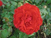 leonard cheshire_Rose