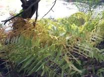 Ferns around Quarter Mile Pond