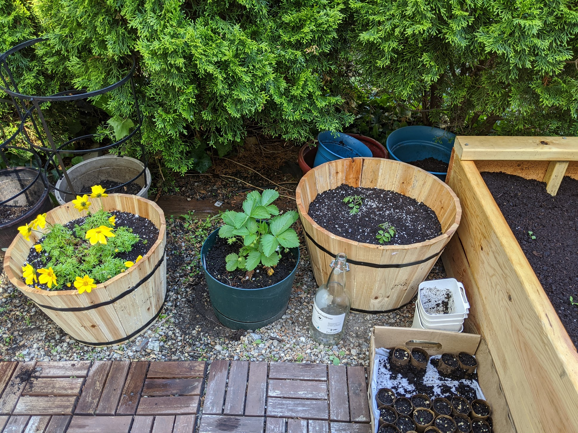 3 larger planters, with bright yellow flowers, strawberry plant, and young tomatoes.