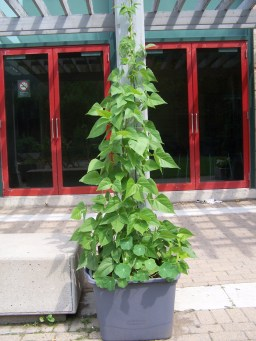 Beans cascading up at the Pitman Garden [June 2013]!