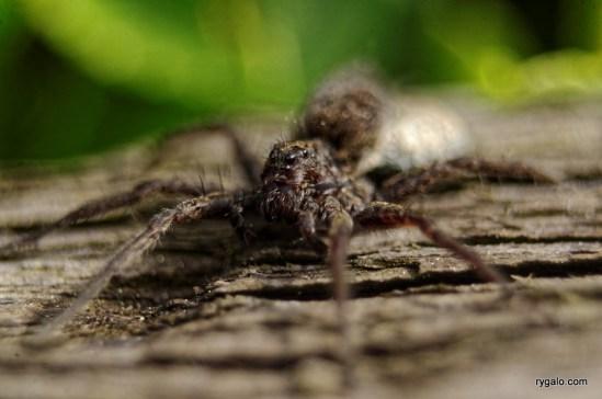 IMGP8223_spider