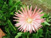 pink kebun