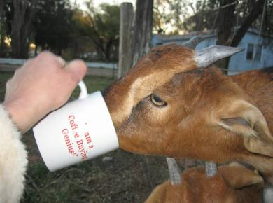 goat drinking coffee
