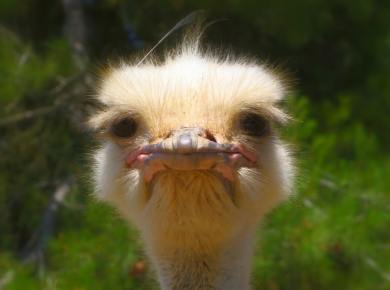 why am i so irritable ostrich