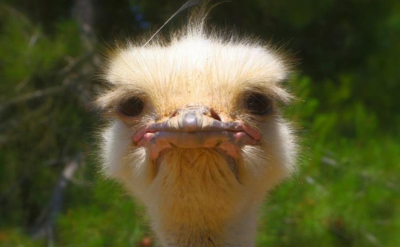 why am i so irritable ostrich