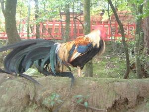 石上神宮のニワトリ 神様の使い