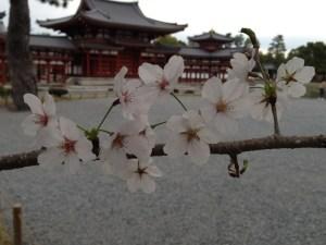京都 平等院鳳凰堂 桜