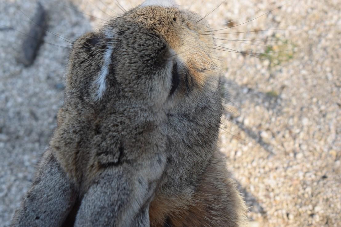 Okunoshima bunnies