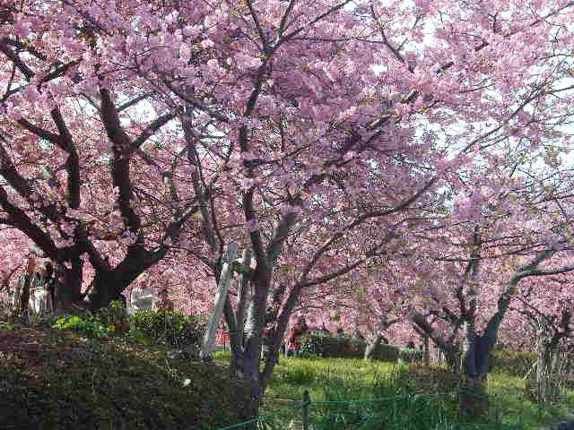 河津桜 - 満開