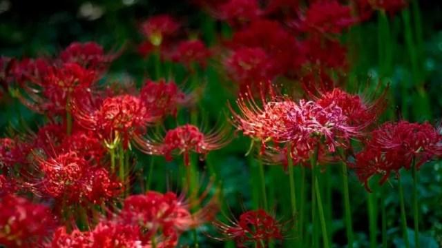 関西・奈良の彼岸花の名所「明日香村」