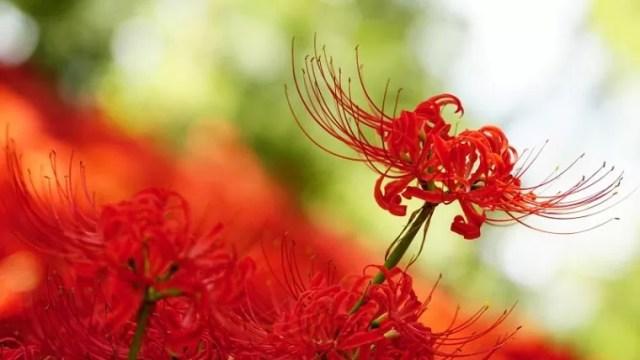 関西・滋賀の彼岸花の名所「桂浜園地」