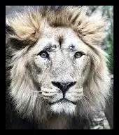 インドライオンの画像