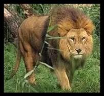 アフリカライオン,動物