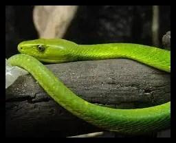 グリーンマンバの顔がかわいい【画像】毒蛇界の最強である真相は?