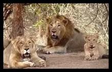 インドライオン,動物
