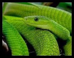 グリーンマンバ,毒蛇,顔,かわいい