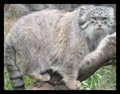 マヌルネコの顔が可愛い【画像】会える日本の動物園と特徴まとめ!