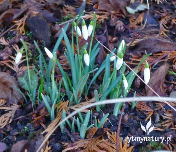 Luty w ogrodzie – Czy to wiosna już puka?