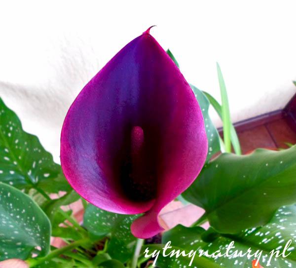 Kalla – wszystko co musisz wiedzieć aby Cię kochała i kwiatami sypała