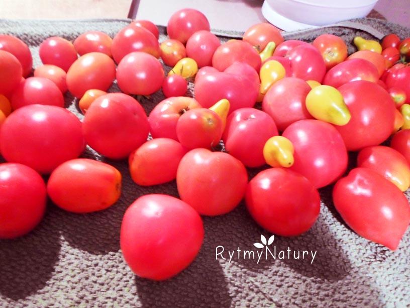 ekologiczna uprawa pomidorow