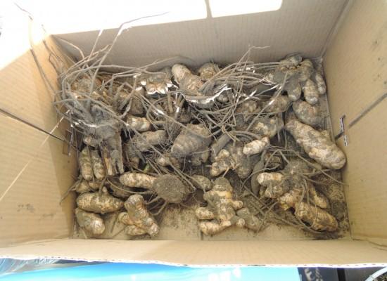 収穫したウコン