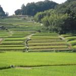 rice,field