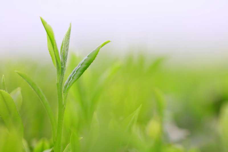 新茶の飲み方と保存方法