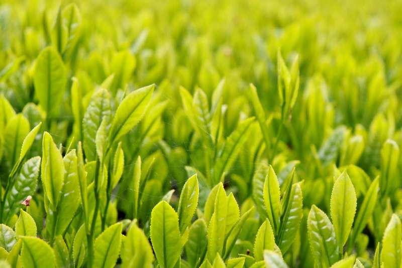 鹿児島県知覧茶(ちらんちゃ)の特徴