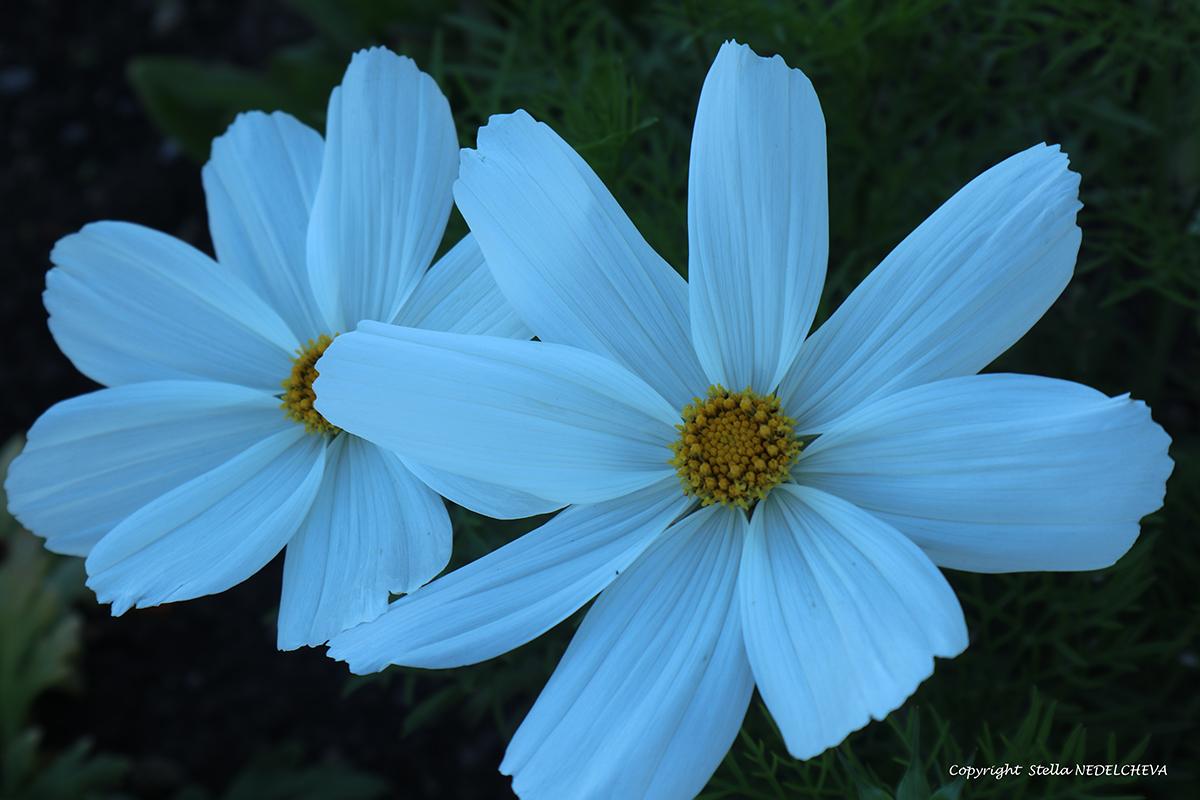 deux fleurs blanches de cosmos