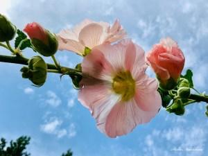 Roses trémières sur le fond d'un ciel bleu