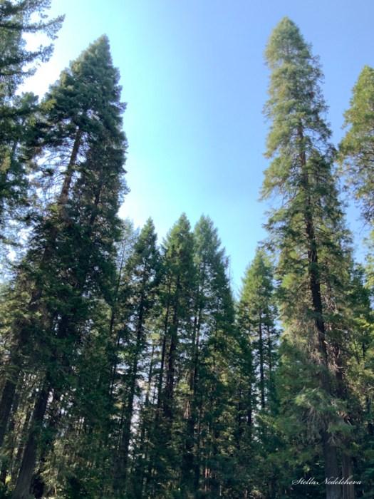 Arbres dans la forêt californienne