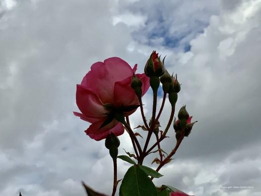 Rose sur le fond d'un ciel nuageux