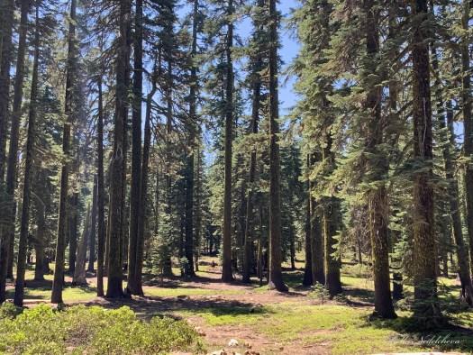 Forêt californienne