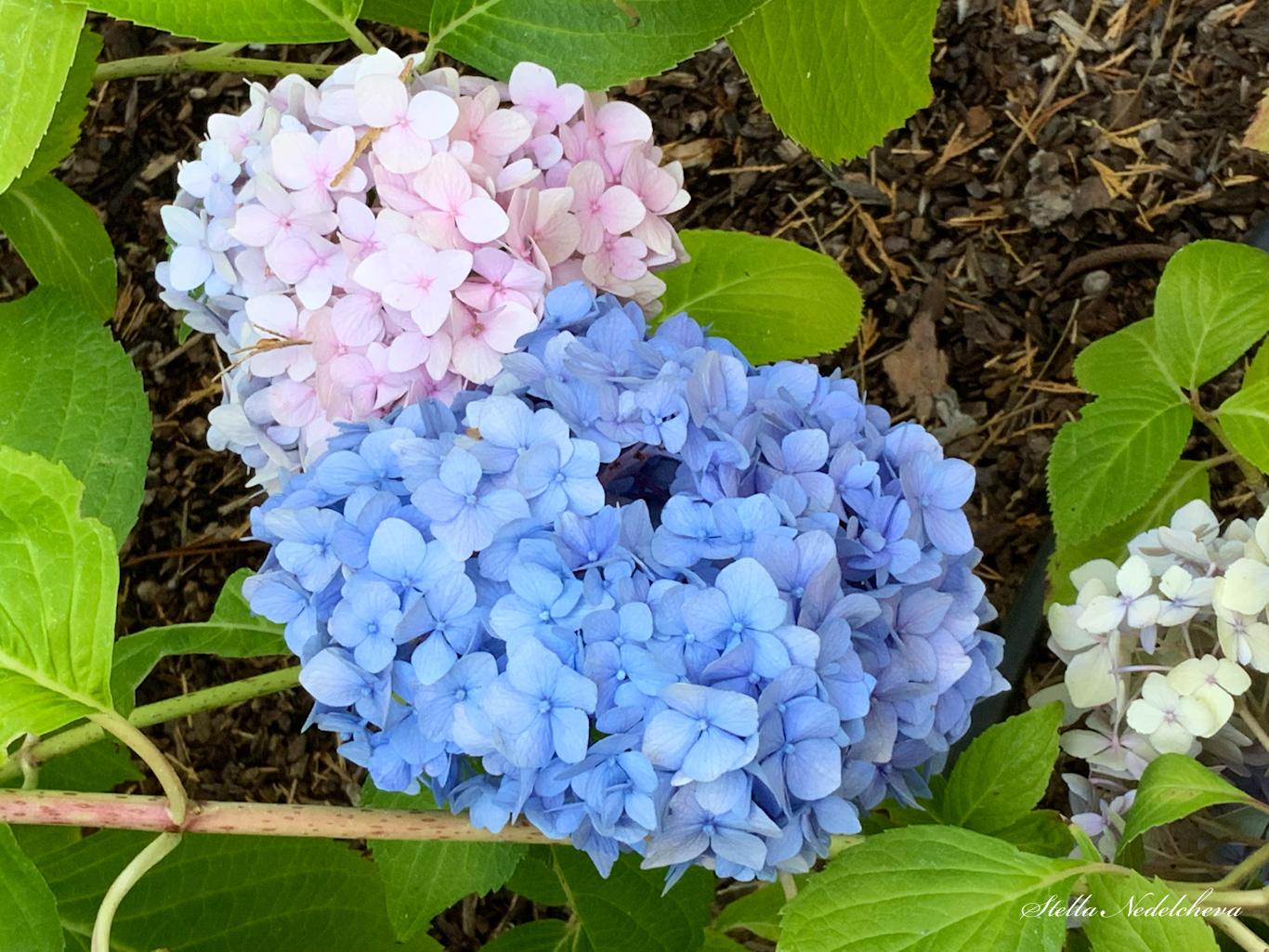 Hortensias roses et bleus