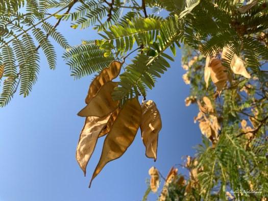 Un arbre aux fruits dorés