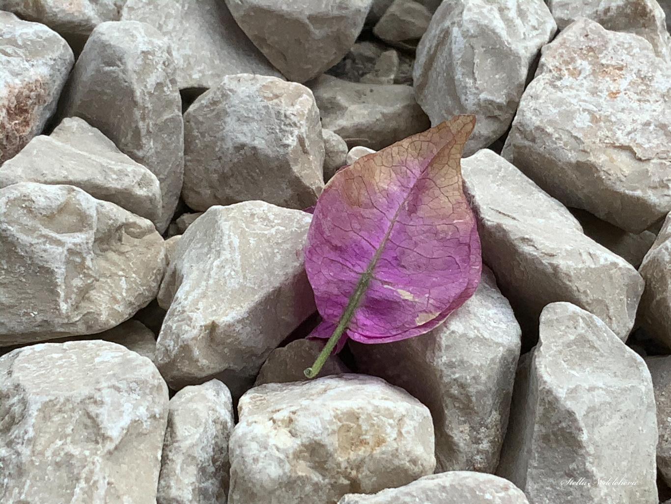Feuilles violettes sur les pierres, tout en haut du mont Tabor