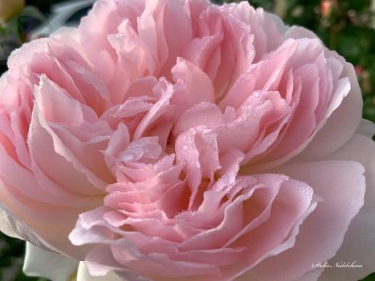 Les pétales d'une rose rose avec des gouttelettes de rosée