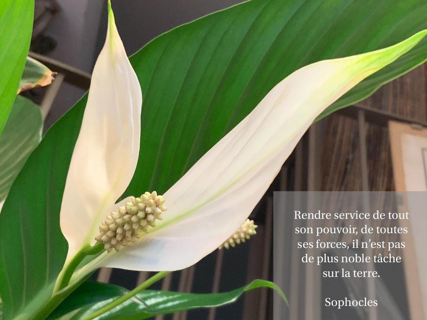 Citation sur le service, image de spathiphyllum