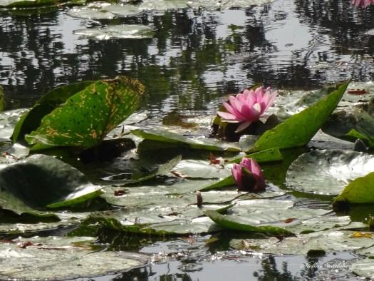Nymphéa - jardin de Claude Monet