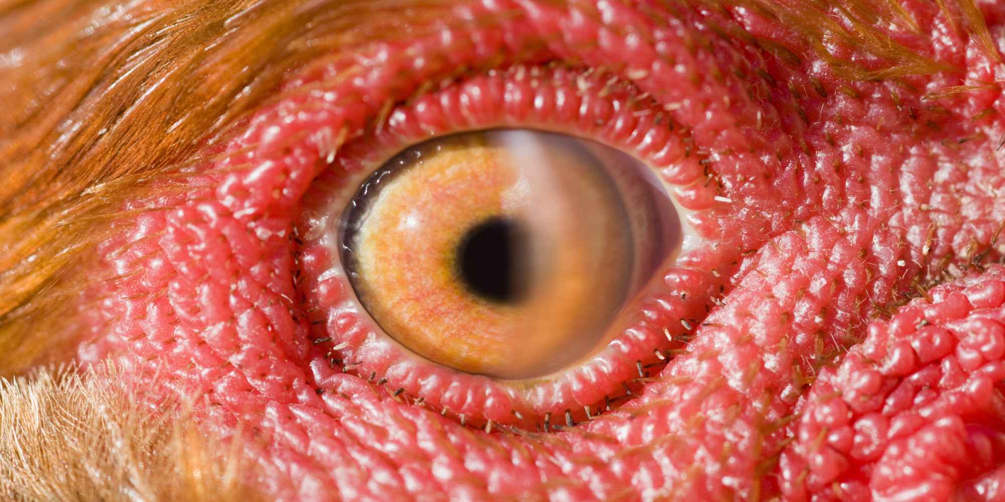 Scientists Look In Chicken S Eye And Discover Weird New