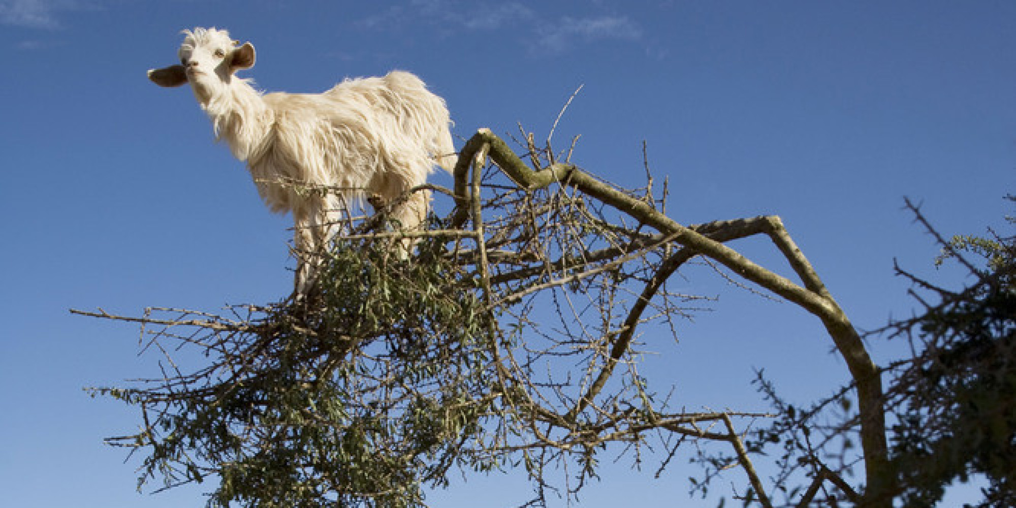 Get Out Of That Tree Goats Huffpost