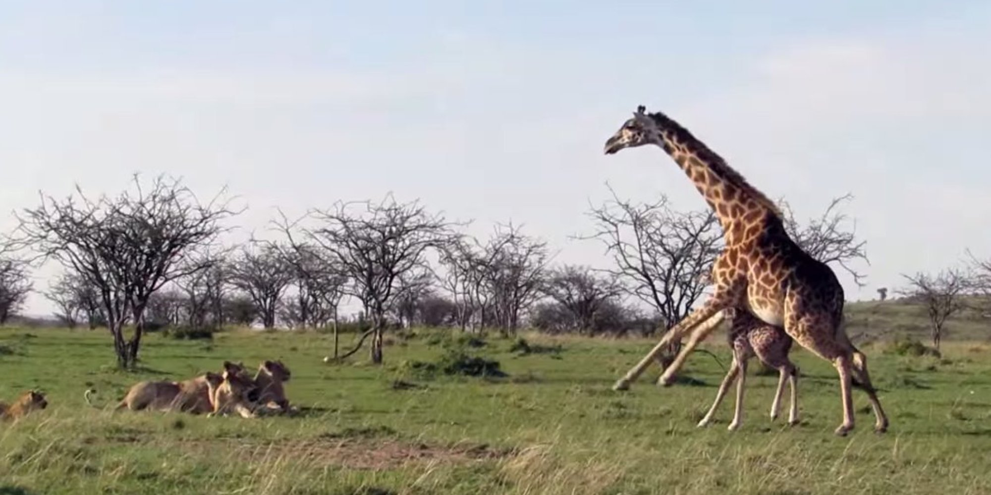 Giraffe Takes On Lions Proves Nothing S More Fierce Than