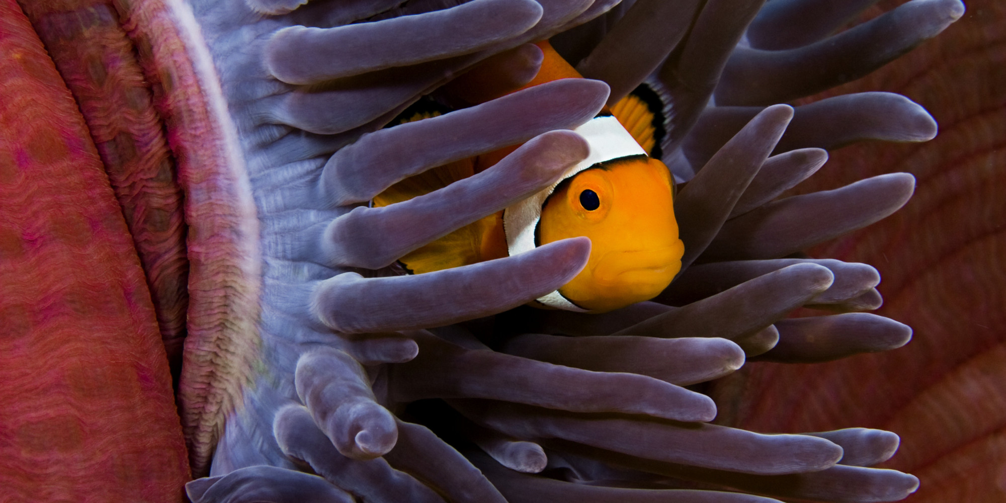 An Ode To The Faithful Clownfish Which May Soon Be Listed