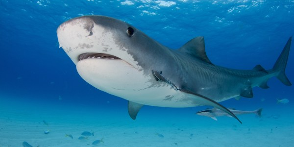 The Pros And Cons Of Shark Week If Youre A Shark