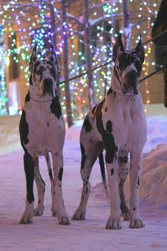 1000 Ideas About Harlequin Great Danes On Pinterest