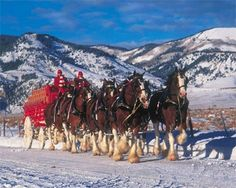 1000 Images About Budweiser Clydesdales On Pinterest